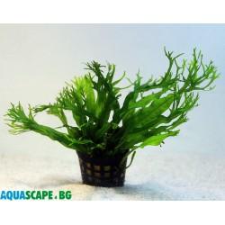 Microsorum pteropus Windelov