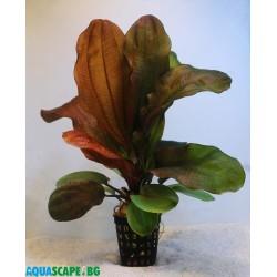Echinodorus 'Rose'