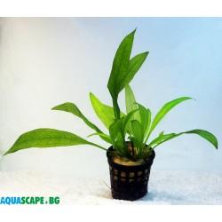 Echinodorus amazonicus (Ехинодорус амазонка)