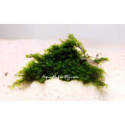 Fissidens fontanus - мъх прикрепен към камък - 7х4 см