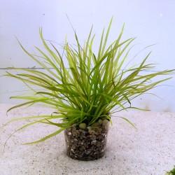 Blyxa japonica - Бликса японика