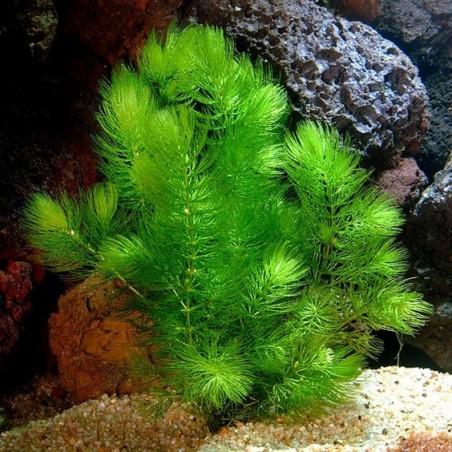 Ceratophyllum demersum - Роголистник (лисича опашка)