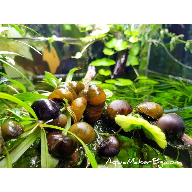Neritina pulligera - Неритина пулигера - Черен охлюв каска