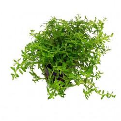 "Rotala sp. ""Green"" - Зелена ротала"