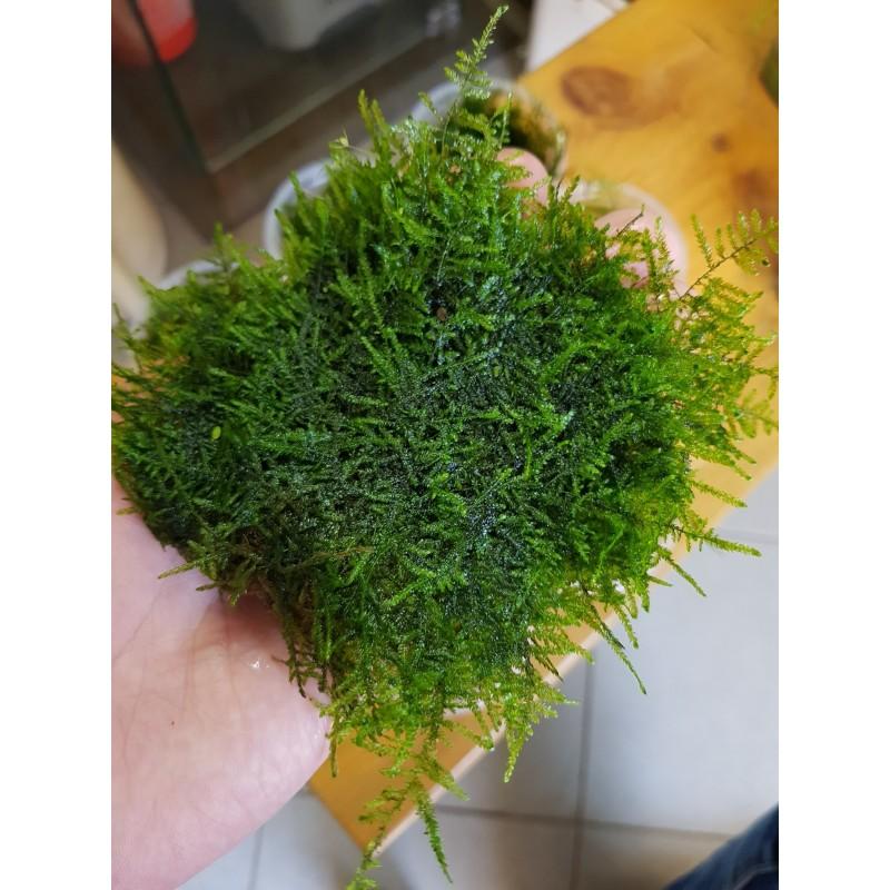 Коледен мъх (Christmas moss)