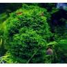 Рикдардия мъх (Riccardia chamedryfolia)