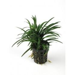 Ophiopogon 'KYOTO'