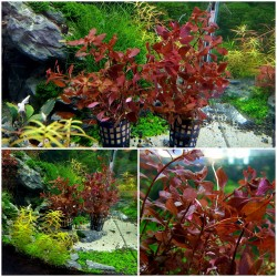 Ludwigia Spec. Super Red