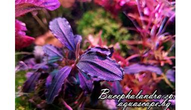 Bucephalandra